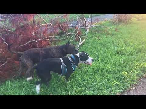 crazy pitbull at the dog park!!!