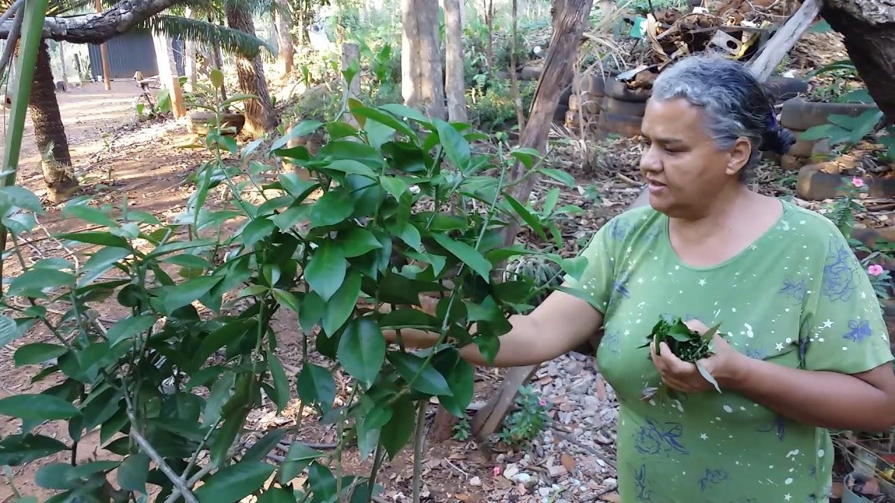Os Benefícios das Folhas de Ora-Pro-Bobis, Ouro Preto Do Oeste Rondônia Brasil