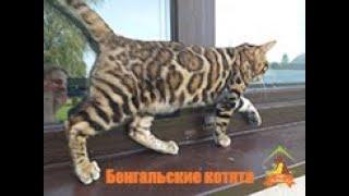 Бенгальские кошки в доме)