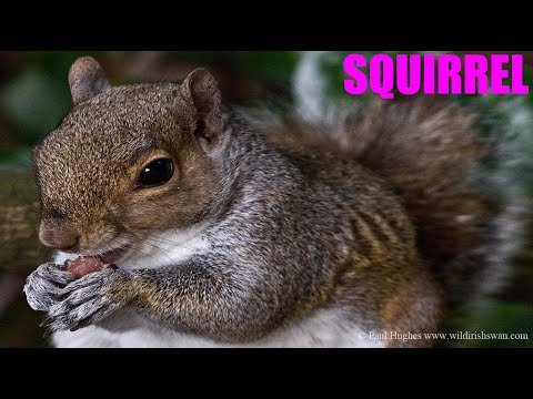 Squirrel love to eat nuts as part of their varied diet