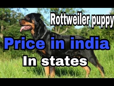 Rottweiler Puppy Price In India In Her States In Hindi Dogs