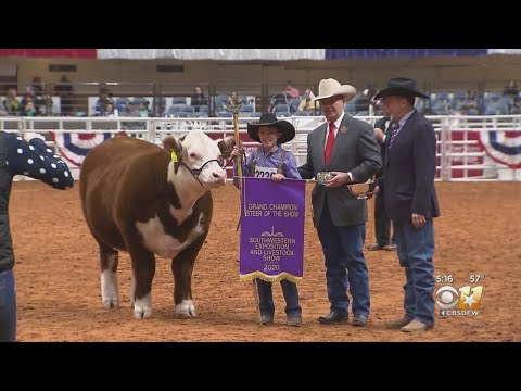 Youth Grand Champion Steer Of The Show Named In Fort Worth