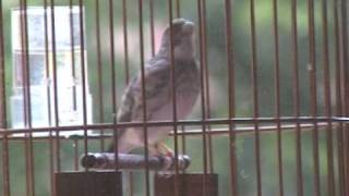 The Grey Singing Finch