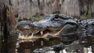 American Alligator | Nick The Wrangler