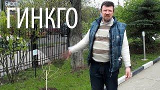 Гинкго — живое ископаемое