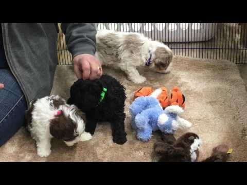 Patsy's schnoodle puppies 36 days old 4 days before Christmas 2016