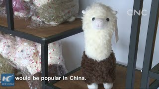 ALPACA FARM IN RURAL CHINA HELPS END POVERTY