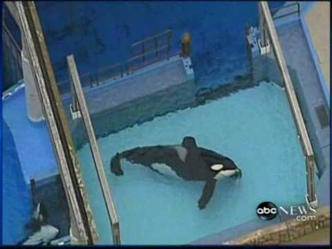!!SEAWORLD WOMAN TRAINER KILLED BY KILLER WHALE!! 2/24/2010