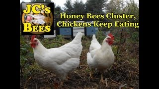 Honey Bees Cluster, Chickens Keep Eating