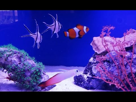 How To Setup A 20 Gallon Long Reef Tank, New Rocks, Firefish, Damsel