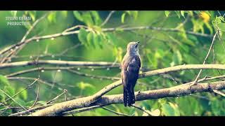 Suara Kicau Burung Kedasih Nangkring di Pohon
