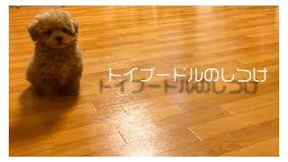 トイプードル(子犬)、チャチャ丸くんのしつけ映像まとめ!おすわりから...