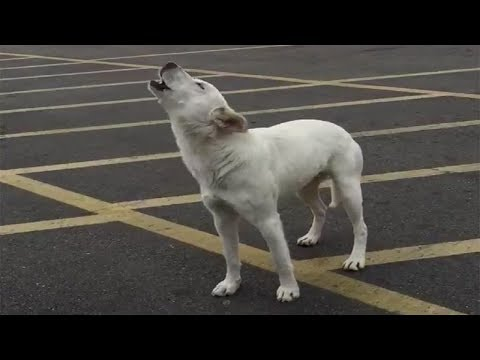 This Dog Was Left Alone In A Parking Lot For 9 Days – Before Someone Finally Heard Her Howling