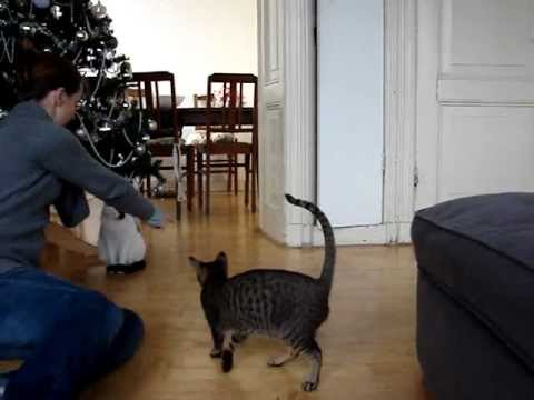 Trained oriental shorthair cat shows tricks sits gives paw jumps hoop.MPG