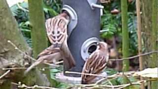 Passer domesticus / House sparrow / Huismus / Moineau domestique / Spatz / Wróbel