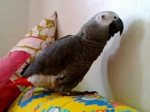 นกแก้ว จักจั่น สกปรก : African grey parrot Jakajan dirty