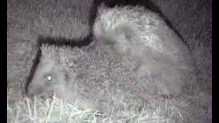 Hedgehogs Mating in the wild on a hot summer night