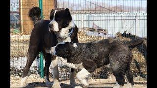 Вольер для двух собак. Особенности вольера для среднеазиатской овчарки.