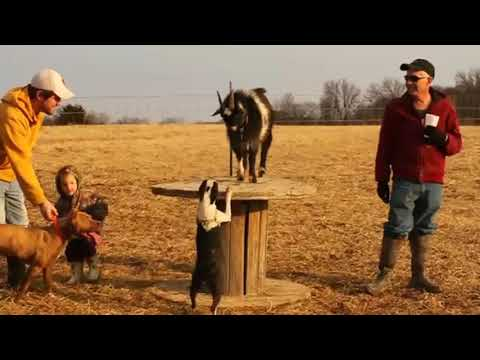 Funny French Bull Dog Chasing Goat - Cute Animals