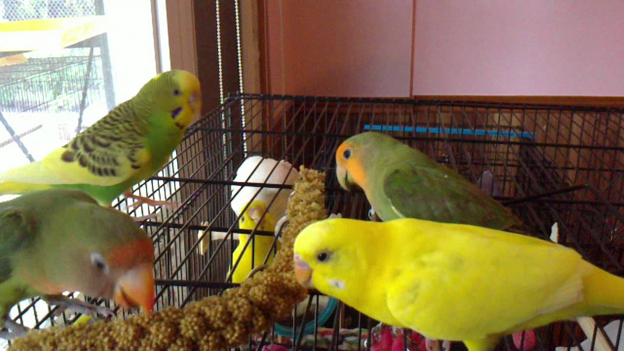 how to get friendly with budgies