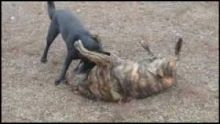 藍虎が相手にしてくれないので、巨大幼犬の本領発揮!