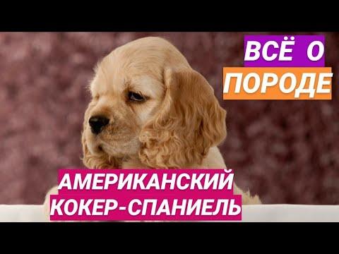 Американский кокер-спаниель // Все о породе собаки // Собака породы американский кокер-спаниель