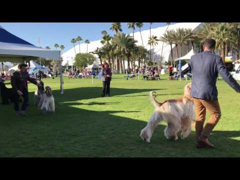 Jan 6 2017 Indio dog show Afghan hound