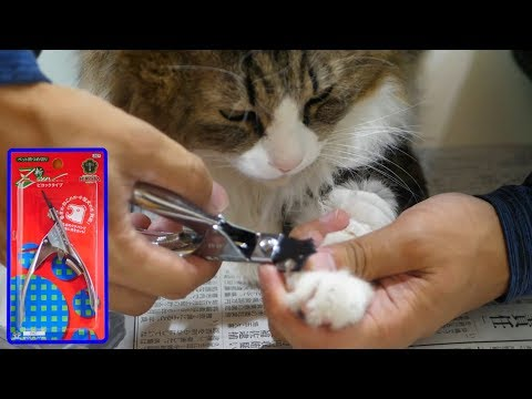 i-cut-boss-cat's-nails-easily-with『healthy-nail-clippers-zan』!