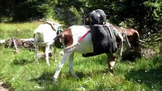 Heading Home, Snowy Range, Pack Goats (5)