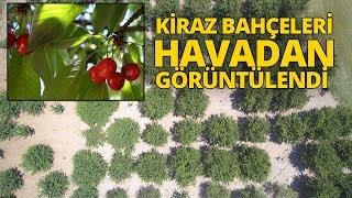 Bursa'nın Dağ Kirazı 8 Liradan İhracatı Bekliyor...