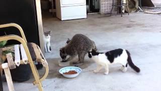 Енот нагло отбирает еду у котов!