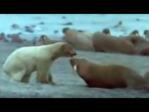 Polar bear vs walrus - BBC wildlife