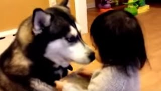 Gentle Husky Play With Baby, Cute