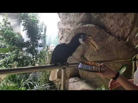 A feeding of pair of Blyth's hornbills