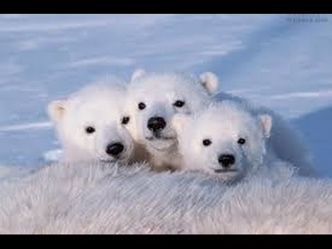 Polar Bear Facts - YouTube