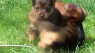 Aussie Terri-Poo Puppies for Sale