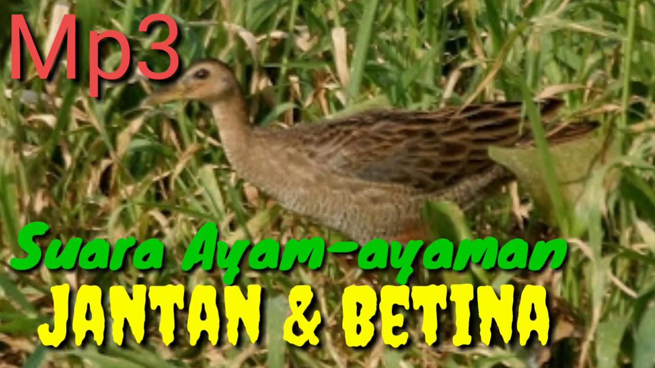 Mp3 Suara Racik Ayam Ayaman Sawah Youtube