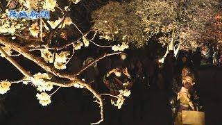 幻想的に浮かぶ梅の花   偕楽園「夜梅祭」