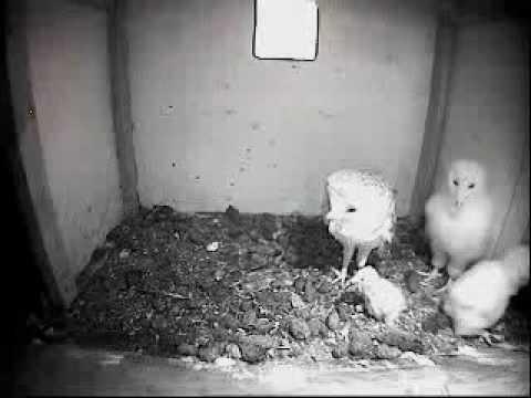 Barn Owl Trust Live Webcam: Barn Owl Feeding Young - YouTube