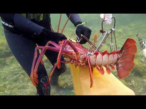 Freedive Spearfishing South West Australia | Crayfish