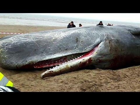 Tres ballenas aparecieron muertas en la costa británica