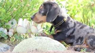 Mini Dachshund Puppy Exploring Nature