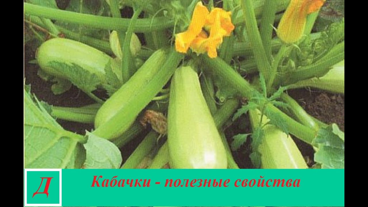 Полезные свойства кабачков
