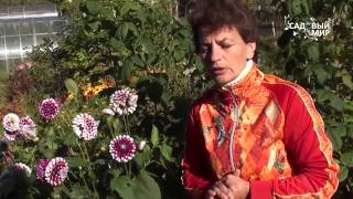 Как продлить цветение георгинов  Защита георгинов от заморозков