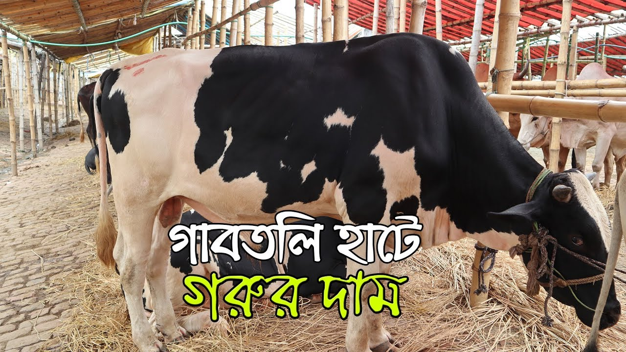 Download গাবতলি হাটে গরুর দাম জানুন । গরুর হাট ২০১৯ । Gabtoli Gorur Haat 2019
