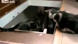 İbnelik Yapan Kediler