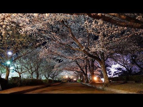 4K京都桜名所2018・七谷川 和らぎの道 夜桜ライトアップSAKURA KYOTO 2018