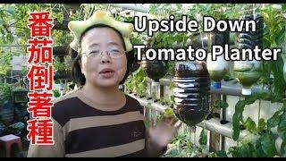(阿美美)番茄倒著種 有詳細說明 就有吃不完的番茄了 寶特瓶懶人花盆 Upside Down Tomato Planter New Bottle Garden