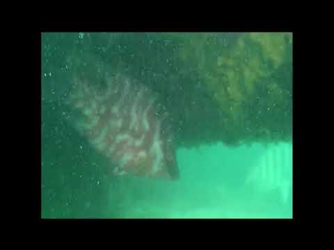 Hogfish At Egmont Key Reef