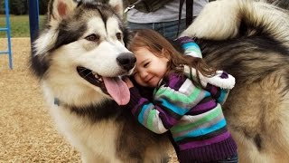 Funny Husky and Baby Videos Compilation